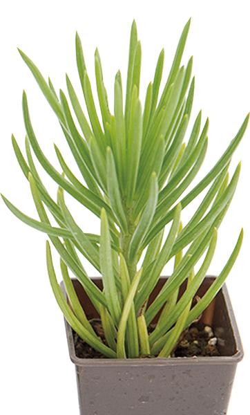 画像2: 【多肉植物とは】選び方のポイント まず初心者は種類(春夏秋冬の生育型)を知っておこう