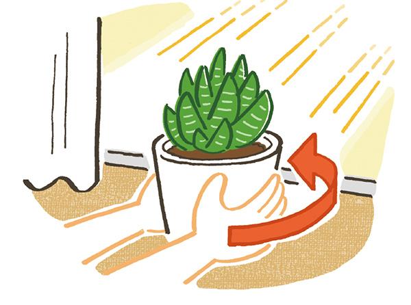 画像: 日当たりのよい窓辺などに置き、1週間に1回、鉢の向きを180度回転させると、全体に日が当たり草姿の乱れを防げる。夜間の窓辺は冷気で冷え込むため、夕方以降は室内の中心部に移動させるとよい。