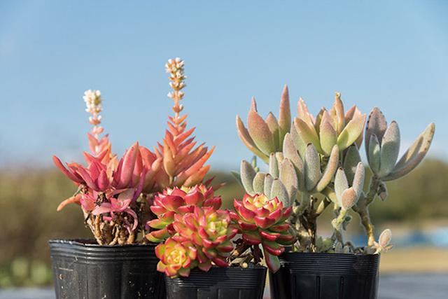 画像: 紅葉する種類は、エケベリア、クラッスラ、センペルビウムなどに多い。