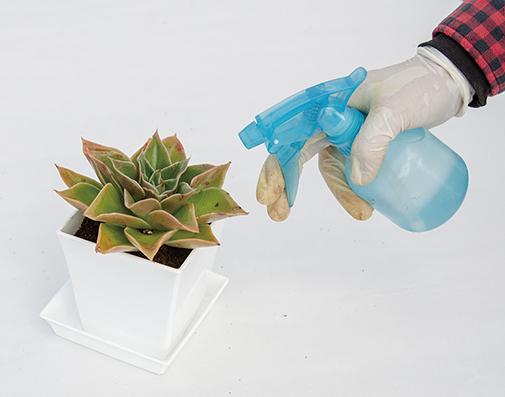 画像: 多肉植物のための葉水は、葉ではなく鉢土に水をかける。室内の場合は霧吹きでもよい。