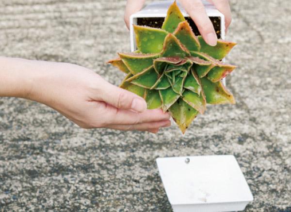 画像: しっかり根づいている株なら、片手で葉を押さえながら、株を逆さにして水を切っても問題ない。