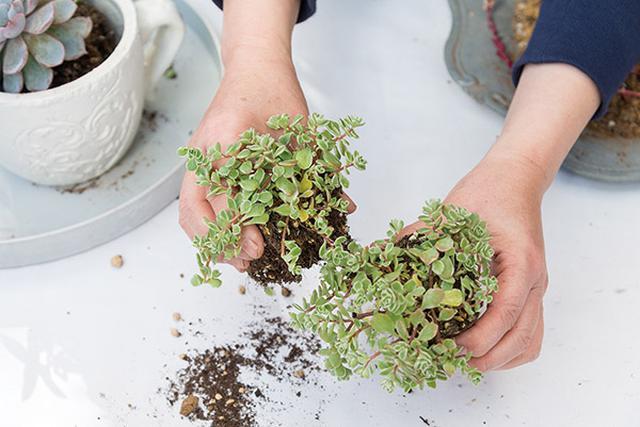 画像3: 寄せ植えの手順