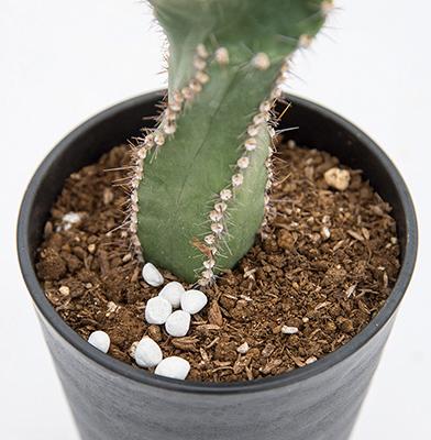 画像: 固形肥料の追肥は、通常の規定量よりも1〜2割ほど少なめの量を鉢土の上に置く。