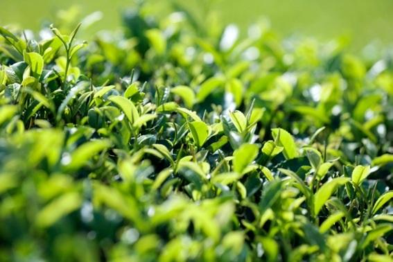 画像: 標高300mにある茶園で栽培された「天空の抹茶」 mydomo.domonet.jp