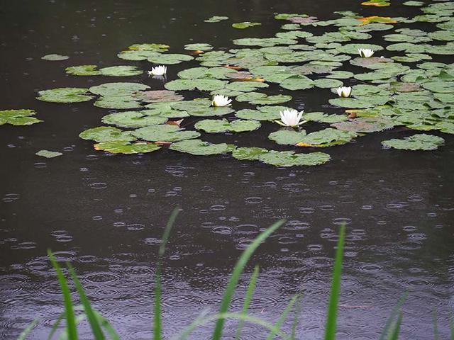 画像: スイレンの葉と花がある池の水面に、降り始めた雨の水紋が広がる。その水面の様子を、望遠ズームで切り取ってみた。水面の暗い部分に、変化に富んだ水紋が映える。画面内に落ちてくる雨粒やその軌跡は確認できないが、雨の雰囲気は十二分に伝わる。 オリンパス OM-D E-M1 MarkII LUMIX G VARIO 35-100mm / F4.0-5.6 ASPH. / MEGA O.I.S(100mmで撮影) 絞り優先オート F5.6 1/200秒 -0.7補正 WB:オート ISO800