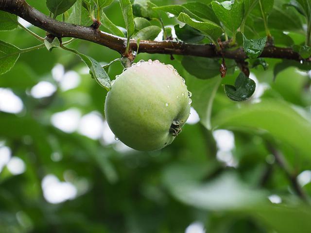 """画像: 少しだけ色づいた青い果実。周囲を囲む葉も含め、全体的に緑色が爽やかな画面だが、被写体(果実)自体は少し存在感が弱い。だが、表面に多くの水滴が付着する事で、果実の形状や色の要素とは違う""""瑞々しさ""""が生まれた。 オリンパス OM-D E-M1 MarkII LUMIX G VARIO 35-100mm / F4.0-5.6 ASPH. / MEGA O.I.S(100mmで撮影) 絞り優先オート F5.6 1/160秒 WB:オート ISO800"""
