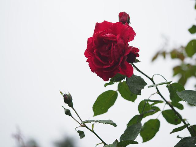"""画像: 上の写真と同じバラで、雨の降り具合も同じくらい。だが、背景全体が""""白い空""""のため、雨の軌跡がほとんど見えない。"""