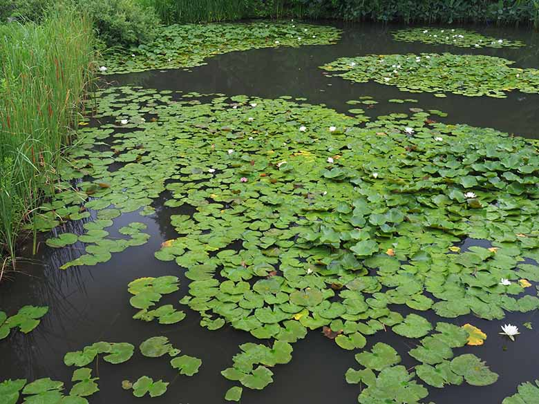 画像: スイレンの葉に被われた、雨上がりの池。その様子をC-PLフィルターを使用して撮影。葉の表面と水面の反射が除去された事で、葉の緑色が鮮やかに描写される。ただし、その効果によって、葉に付着する水滴は見えにくくなっている。 オリンパス OM-D E-M1 MarkII M.ZUIKO DIGITAL ED 12-40mm F2.8 PRO(18mmで撮影) 絞り優先オート F8 1/30秒 WB:オート ISO800