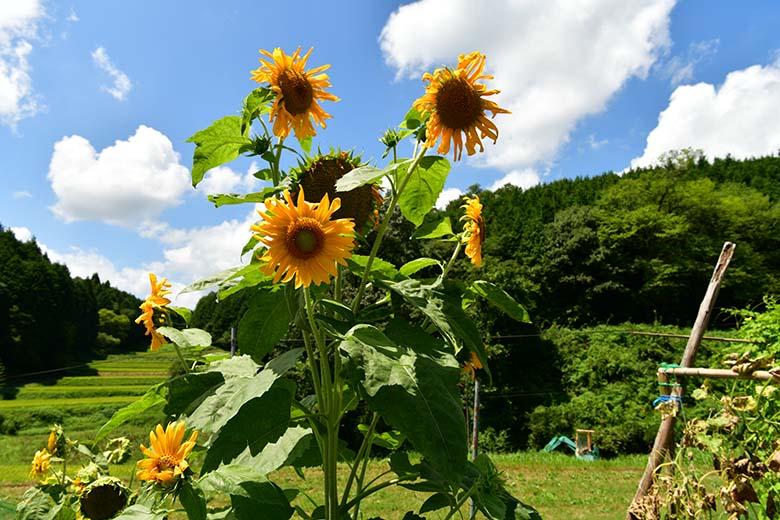 画像: 夏の帰省時、車で移動中に見かけたヒマワリ。この花自体よりも、植えられている畑の雰囲気や、その先に見える長閑な田園風景に惹かれた。そこで、花はあまり大きく写さず、畑の様子(画面右下のキュウリの棚など)や、夏空が広がる田園風景を広めに入れて撮影した。 ニコン D850 AF-S NIKKOR 24-70mm f/2.8E ED VR(24mmで撮影) 絞り優先オート F11 1/100秒 WB:自然光オート ISO64