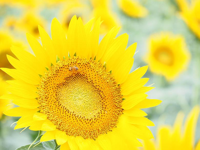 画像: ヒマワリの群生の中から、形の整った花を選んで、望遠ズームレンズで大きめに切り取る。そして、+2段の多めの露出補正によって、肉眼とは違う明るくて爽やかな写真に仕上げた。ちなみに、画面内には背後にある別の花や葉が写り込んでいるが、これらは明るい雰囲気を壊す要素にはなっていない。 オリンパス OM-D E-M1 MarkII LUMIX G VARIO 35-100mm / F4.0-5.6 ASPH. / MEGA O.I.S(100mmで撮影) 絞り優先オート F5.6 1/160秒 +2補正 WB:オート ISO200