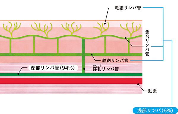 画像: 筋肉に圧がかかると浅部と深部をつなぐ穿孔リンパ管が活性化。100%のリンパ液が深部リンパ管に流れ込みます。
