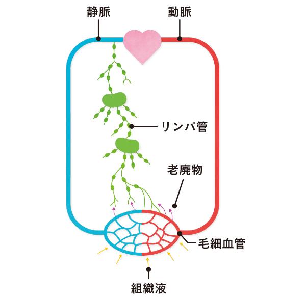画像: 静脈で回収できない大きな老廃物などをリンパ管が回収する。