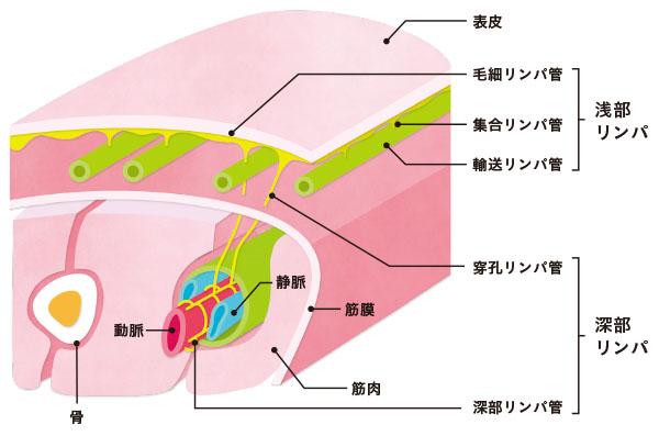 画像: 深部リンパの位置と働き