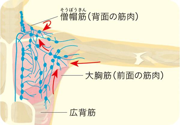 画像3: 刺激する筋肉・リンパの場所