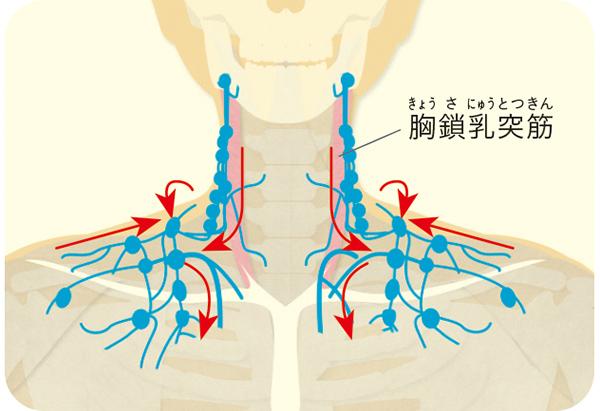 画像1: 刺激する筋肉・リンパの場所