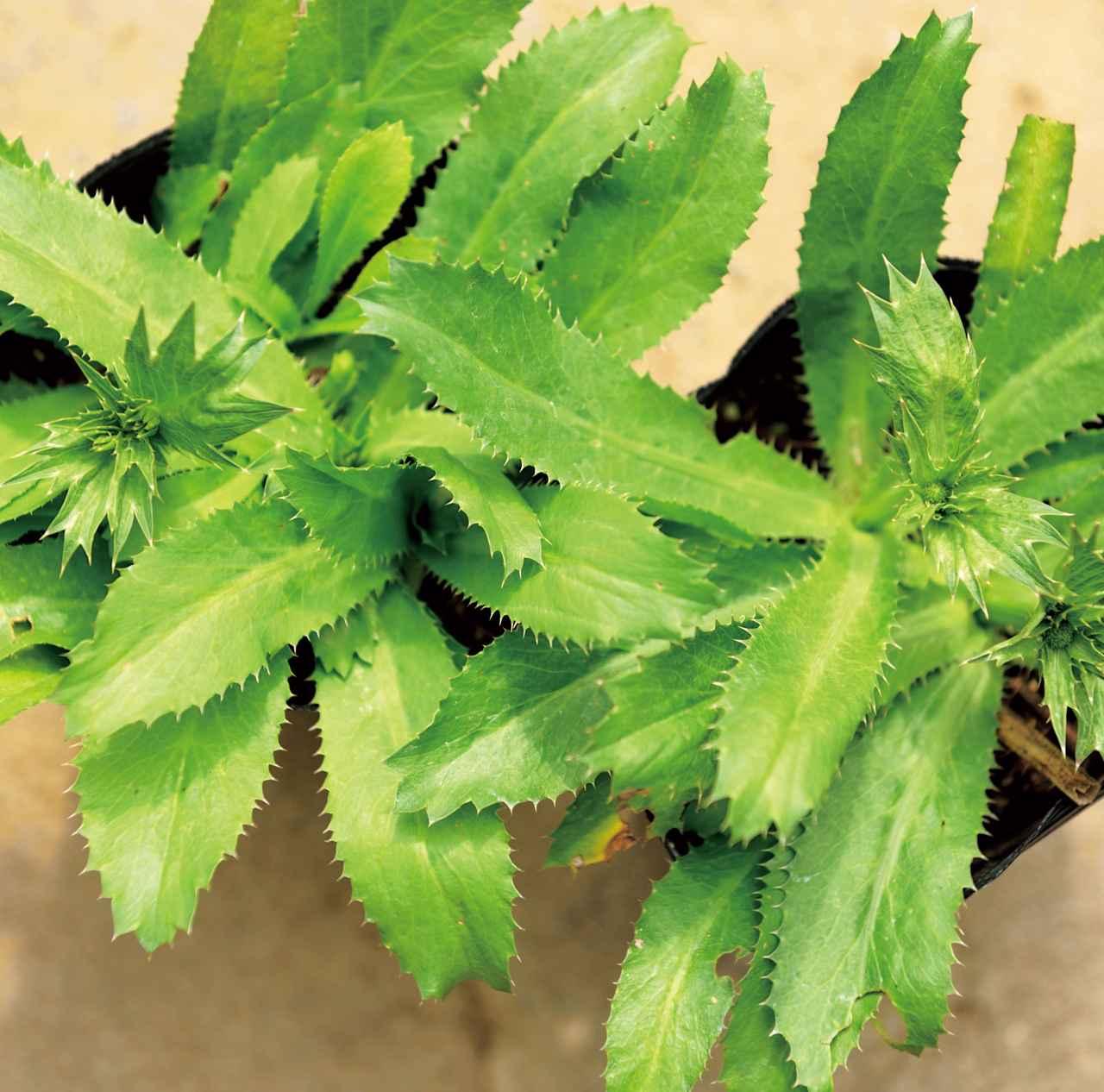 画像: パクチーファラン ギザギザの厚い葉をもち、ノコギリコリアンダーとも。パクチーよりあっさりした風味で、きざんで食べる
