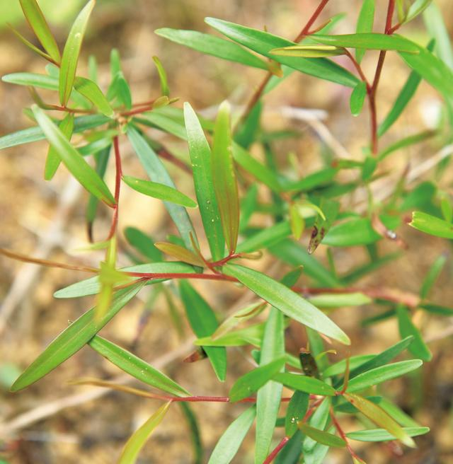 画像: レモンティーツリー 別属のティーツリーに似た姿から、この名が。ややビターなレモンの香りで、ハーブティーにぴったり