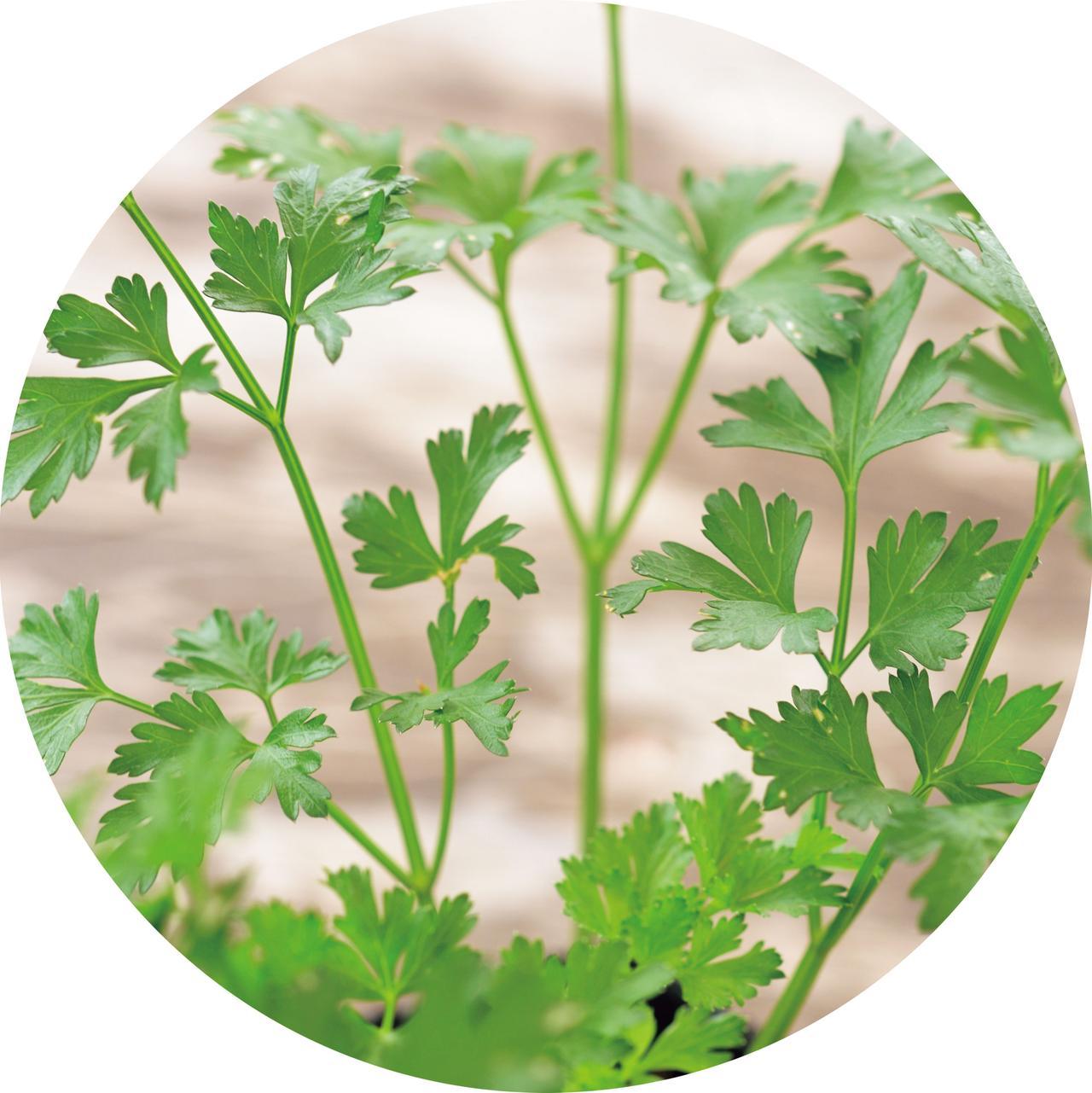 画像: イタリアンパセリ ヨーロッパ、西アジアなどが原産。日なたから半日陰で風通しのよいところを好む。乾燥には比較的強い。花芽を摘むことで、より長く収穫できる