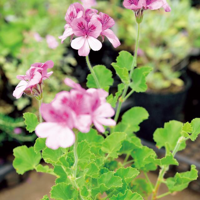 画像: ジンジャーゼラニウム 大きめの濃いピンクの花は切り花としても。ジンジャーエールのような甘いしょうがの香りが特徴