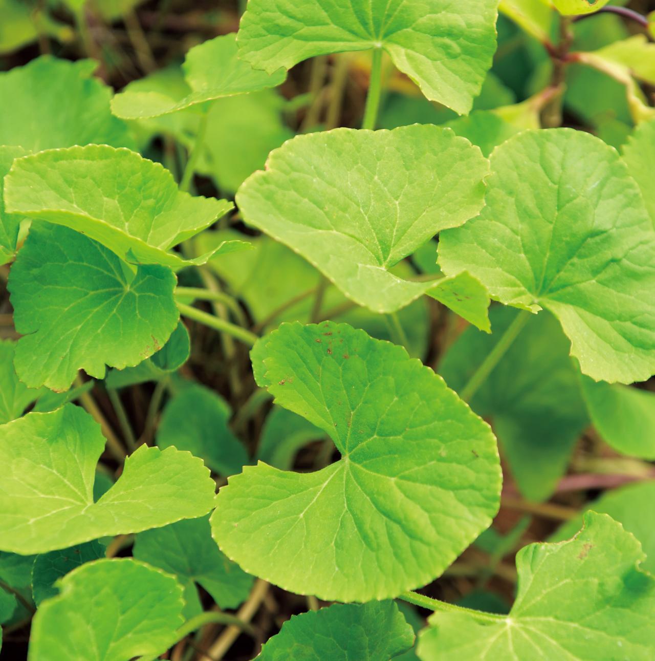 画像: ゴツコーラ セリ科で、和名はツボクサ。インド伝統医学のアーユルヴェーダでも古くから利用されてきた薬草