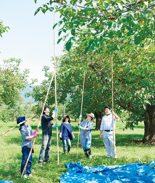 画像: 3mほどの竹竿で、くるみの木を叩いて実を落とす。木を傷つけず、くるみだけを叩くのは熟練の技