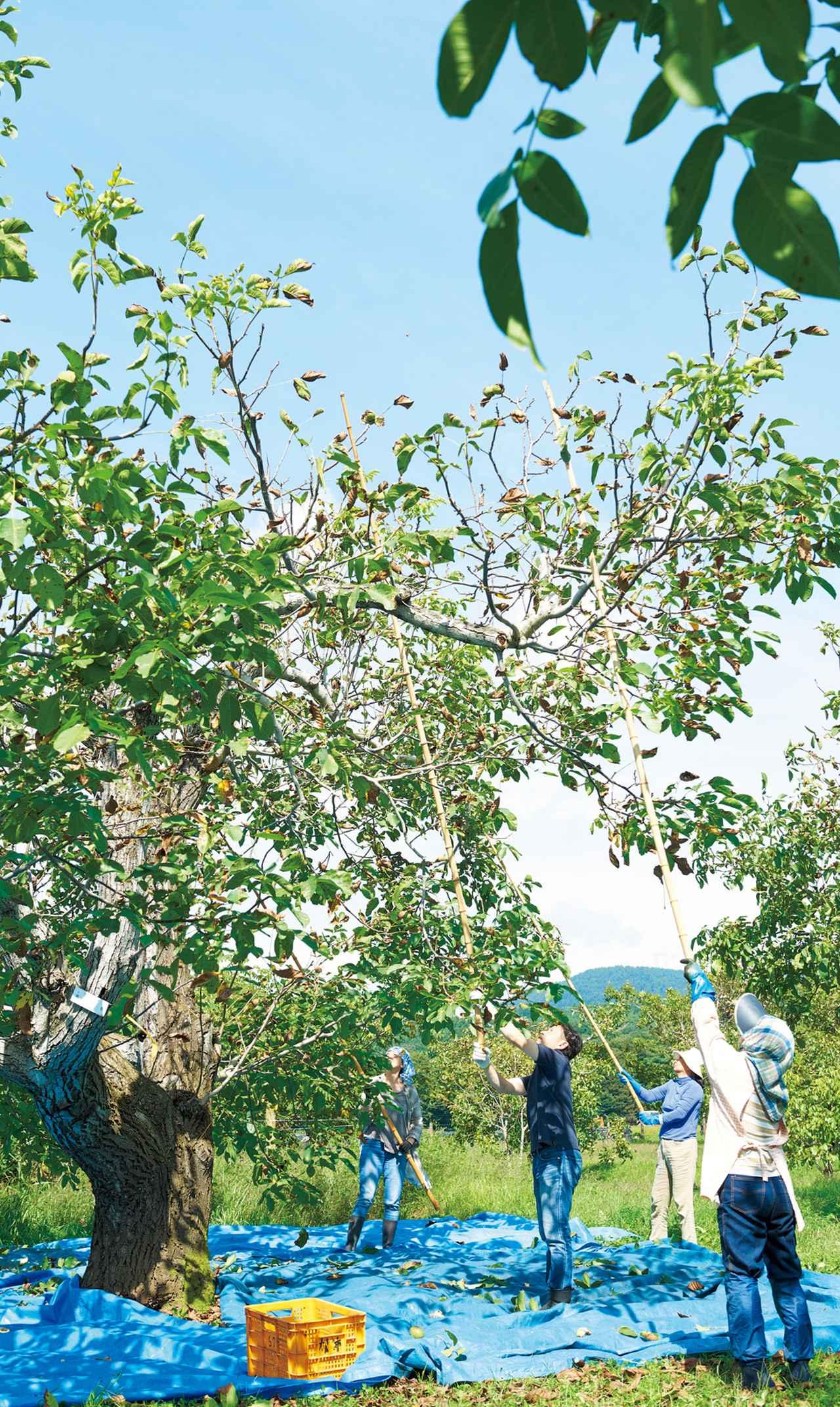 画像: 本来、20~30mあるというくるみの木を、「カットバック」という方法で、収穫や剪定がしやすい高さに調整している