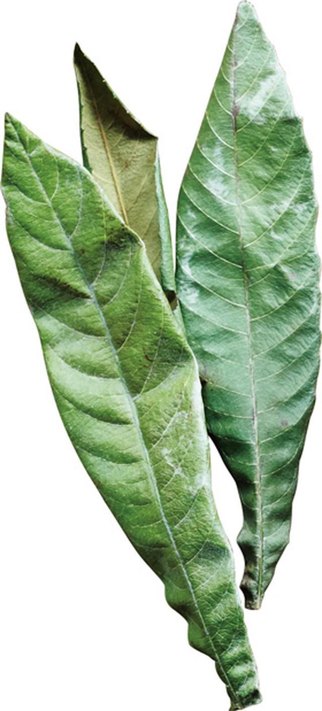 画像1: びわの葉