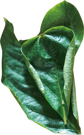 画像1: 柿の葉