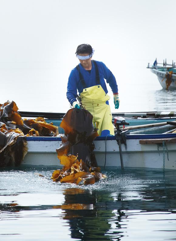 画像: 羅臼昆布は幅25cm、長さ3m近くにも生長するため、昆布漁はかなりの重労働