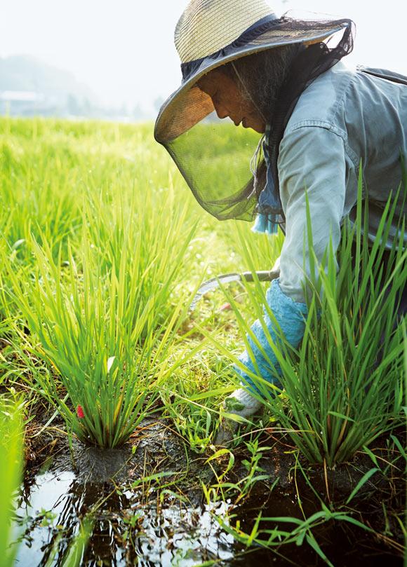 画像: 田んぼでも2〜3回、苗の周囲の草を鎌で刈る。夏の大切な仕事