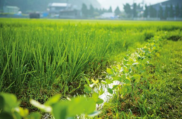 画像: 土を肥やす働きがある大豆を田んぼの畦で栽培。「大豆は、やせた場所を好むので、畦で育てるのが最適。初秋に採れる枝豆の味は格別です」