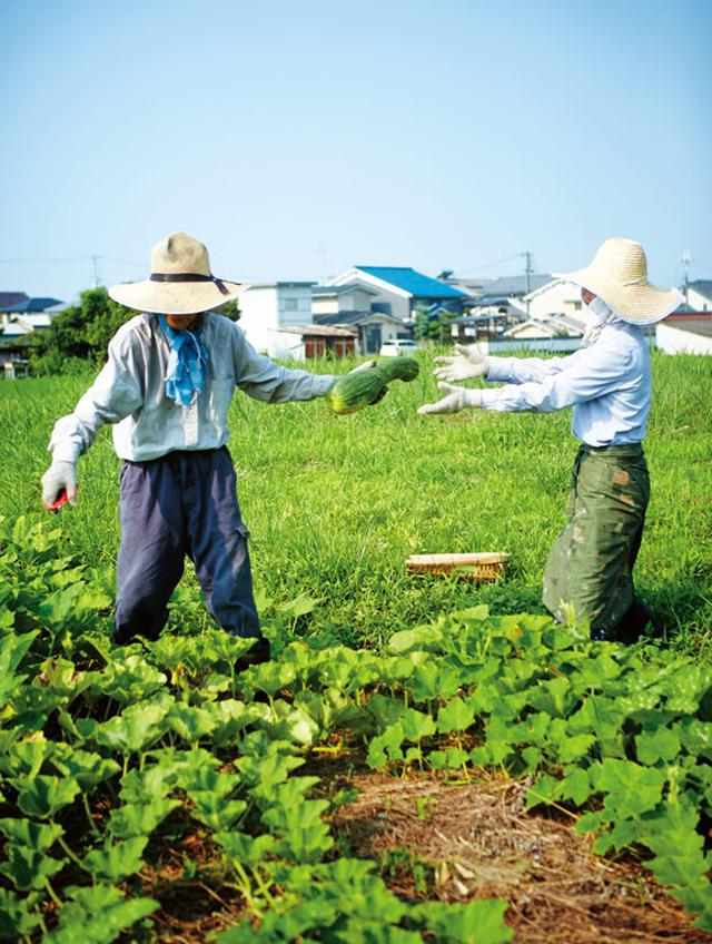 画像: 自然農を実践する人に種を分けてもらった、固定種の、大きなズッキーニを収穫。約40㎝の特大サイズで、ずっしり重い。締まった食感で、炒めものや味噌汁の具に
