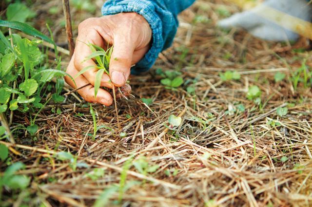画像: 種をまく部分は草を取り、作物と草の生育のスタートラインをそろえる。芽が出たあとも自分で育つ力がつくまで、まめに草を除くことが大切