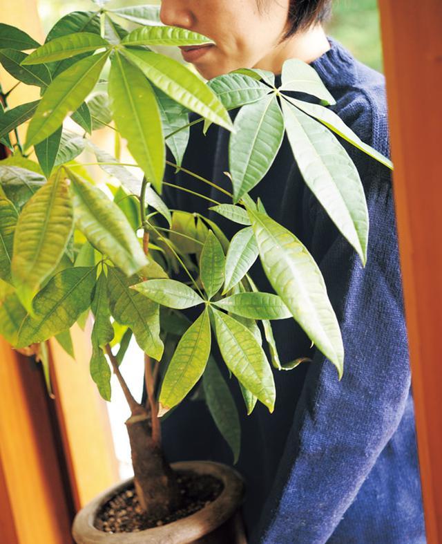 画像: 早霜に備えて植物を室内へ移動する 「最初の冬、思いのほか早く降りた早霜で植物をダメにしてしまったことがあったんです。それからは、早めに室内へ避難させるようにしています」。デッキに並んだグリーンは、ローズマリーなどのハーブ類や、多肉植物、レモンマートル、パキラなど。写真はパキラで、以前、友人からパキラを一時的に預かっていて、返したらさびしくなってしまい、あとから購入したそう