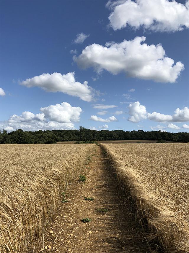 画像: 小麦粉畑を刈り取ってつくられたフットパス