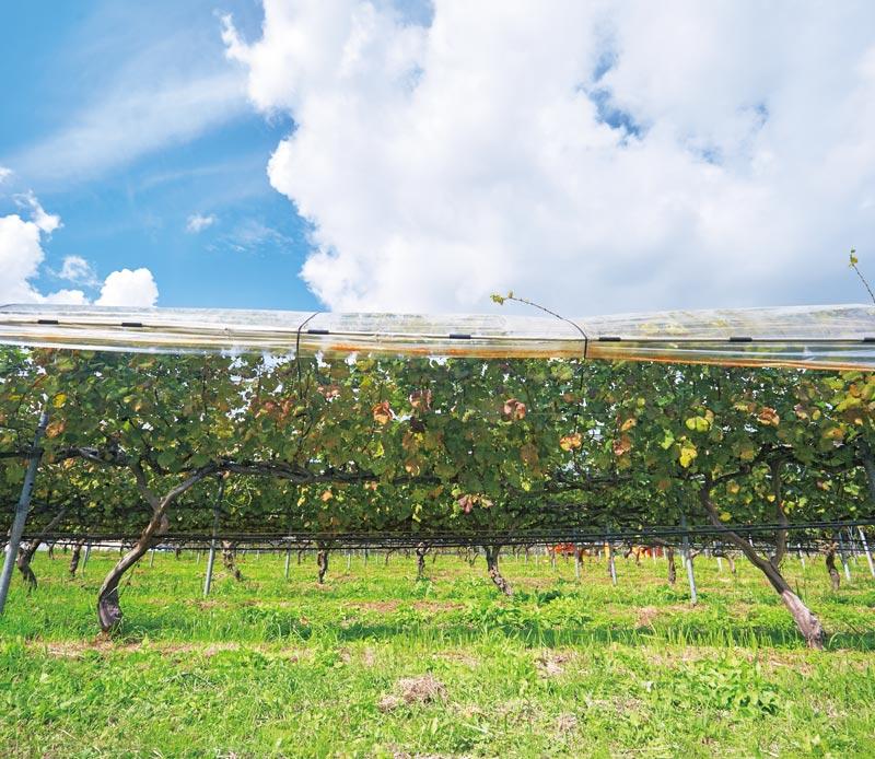 画像: 約3へクタールの面積に広がるぶどう畑では、シャルドネ、やまぶどう交配品種の小公子、ブラックペガールなど、10種以上のぶどうを栽培。奥出雲の気候を反映し、酸味の穏やかな、きれいな味のワインになるそう