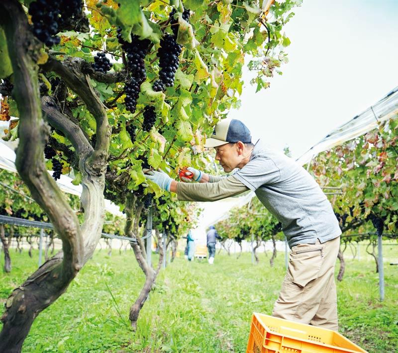 画像: シーズン真っ盛り、忙しく収穫中のワイナリー長・安部紀夫さん。「除草剤など不要な農薬は使わず、基本に忠実なつくり方で栽培しています。食事に合う辛口のワインもそろうので、レストランでもお楽しみください」