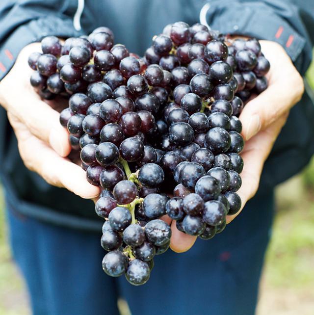 画像: しわがなく粒がそろっているものを収穫。この日、収穫していた品種は、カベルネソーヴィニヨン