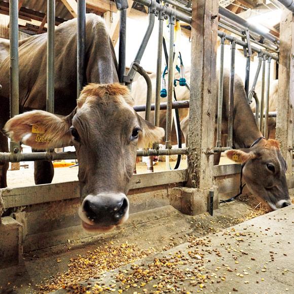 画像: 搾乳も行われる日登牧場の牛舎。牛には色別の首輪がかけられ、餌の量や体調が管理されている