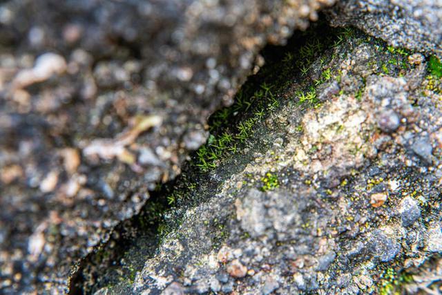 画像: このこけにとっては、草も生えないこの隙間がすみかになっています