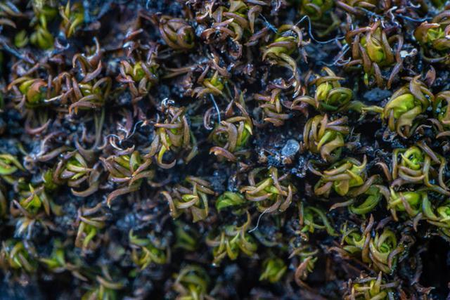 画像: 乾くと葉が内側に巻くハマキゴケ。茶色っぽく縮こまり、枯れているように見えます