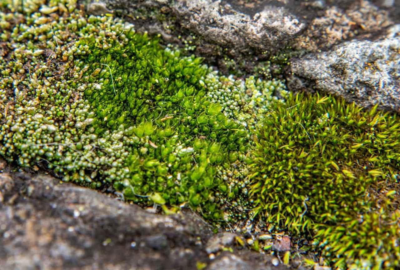 画像: 排水溝とアスファルトの隙間で見つけた群落。縦1センチ横3センチの中に4種類ほどのこけが見えます