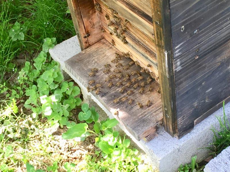 画像: 巣箱に向かって列をなしているニホンミツバチたち。何をしていると思いますか? なんと、巣のなかを涼しくするために、羽をふるわせて風を送っているんです!