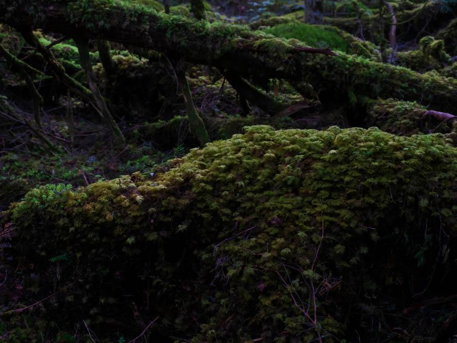 画像: イワダレゴケに覆いつくされた倒木