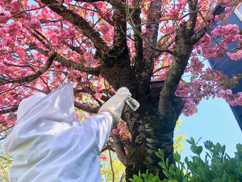 画像: 八重桜の木にとまった分蜂群(写真中央)。霧吹きで水をかけ、舞い上がらないように落ち着かせてから巣に招き入れます。