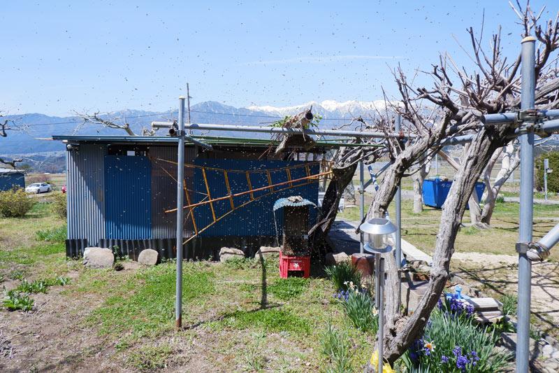 画像: ある日の分蜂のようす。白い点々が舞っている蜂たち。パイプに吊られた止まり木に蜂が集まっているのが、見えるでしょうか。(撮影:佐々木健太)
