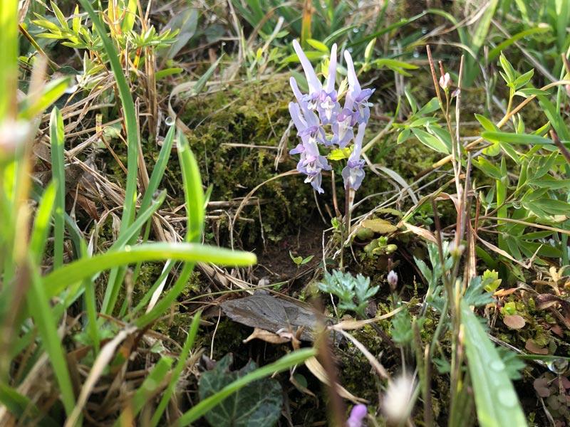 画像: 最近、見つけるとうれしいお気に入りの野の花。エンゴサク、という名前のようです。
