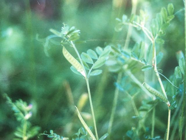 画像: ◆カラスノエンドウの摘み方