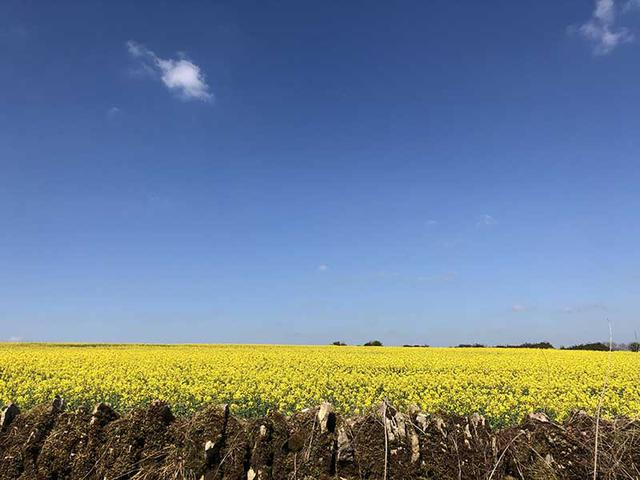 画像: ウォーキングで見かける菜の花畑