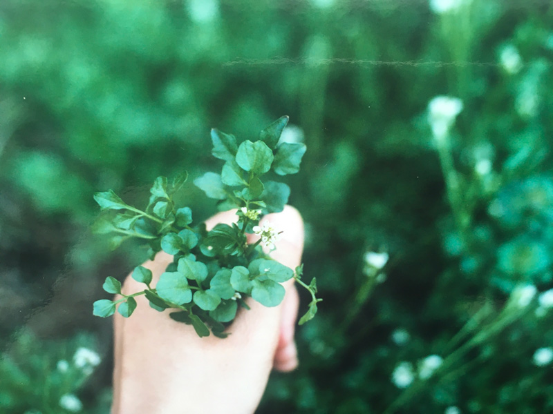 画像: ◇タネツケバナの摘み方